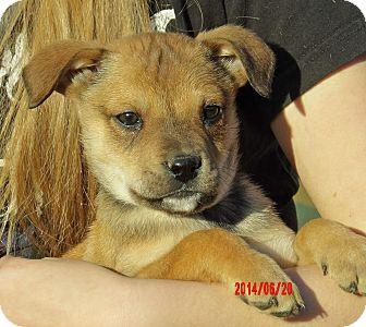 German Shepherd Dog/Akita Mix Puppy for adoption in Williamsport, Maryland - Maverick (6 lb) Video!