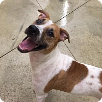 Jack Russell Terrier/Whippet Mix Puppy for adoption in SHELBY TWP, Michigan - Bella