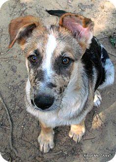 ... Dog   Metairie, LA   German Shepherd Dog/Catahoula Leopard Dog Mix