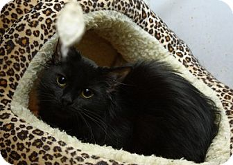 Domestic Mediumhair Kitten for adoption in Lombard, Illinois - Melrose Park