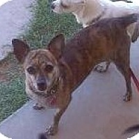 Chihuahua/Dachshund Mix Dog for adoption in Mesa, Arizona - Spicy