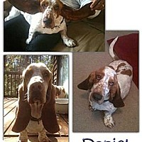 Basset Hound Dog for adoption in Marietta, Georgia - Daniel