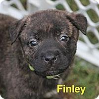 Adopt A Pet :: Finley - Bloomsburg, PA