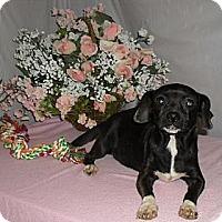 Adopt A Pet :: Misty - Chandlersville, OH
