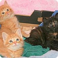 Adopt A Pet :: Puffy Kittens - Arlington, VA
