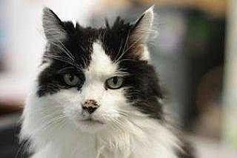 Domestic Longhair Cat for adoption in Mebane, North Carolina - Ocean