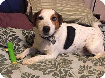Jack Russell Terrier/Corgi Mix Dog for adoption in Oklahoma City, Oklahoma - Toby In Oklahoma