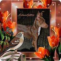 Adopt A Pet :: Smurfette - Crowley, LA