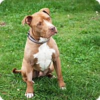 American Staffordshire Terrier Mix Dog for adoption in St Helena, California - Rosko