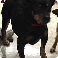 Adopt A Pet :: Rambo - Loudonville, NY