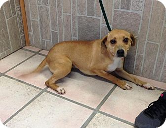 Beagle Mix Dog for adoption in Newburgh, Indiana - May