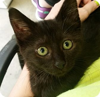 Domestic Shorthair Kitten for adoption in Houston, Texas - Maeve
