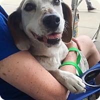 Adopt A Pet :: Gem 15lbs- enjoys playing with dogs - Clarkston, MI