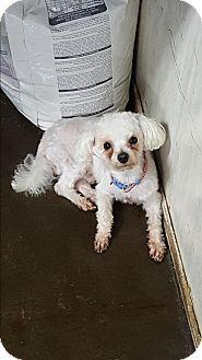 Poodle (Miniature) Mix Dog for adoption in Pottsville, Pennsylvania - Baxter