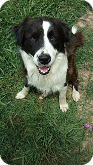 Border Collie Mix Dog for adoption in Houston, Texas - Beethoven