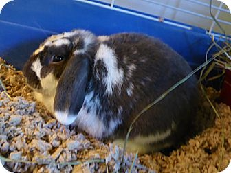 Lop-Eared Mix for adoption in Alexandria, Virginia - Xavier