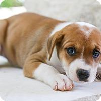 Adopt A Pet :: Kaden - San Antonio, TX