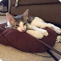 Adopt A Pet :: Scrabble - Lombard, IL