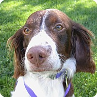 Brittany Dog for adoption in Buffalo, New York - Max