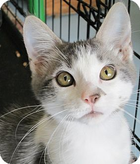 Domestic Shorthair Cat for adoption in Buhl, Idaho - Dannel