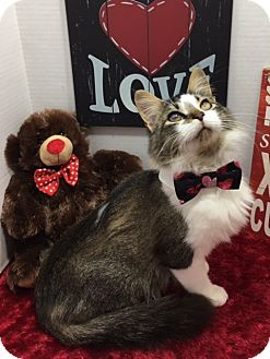 Domestic Shorthair Cat for adoption in Pasadena, Texas - Toby