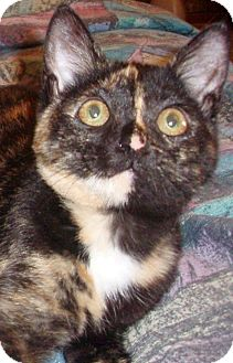 Domestic Shorthair Cat for adoption in Germansville, Pennsylvania - Reeses