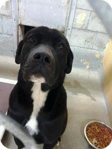 Labrador Retriever/Newfoundland Mix Dog for adoption in North Wales, Pennsylvania - Mortie