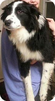 Border Collie/Australian Shepherd Mix Puppy for adoption in Plainfield, Illinois - Shai