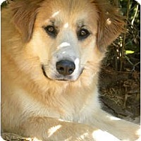 Adopt A Pet :: SASHI - Hagerstown, MD