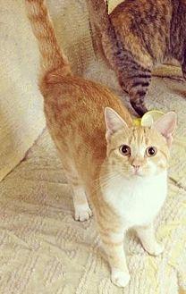 Domestic Shorthair Cat for adoption in Stuart, Virginia - Margarita