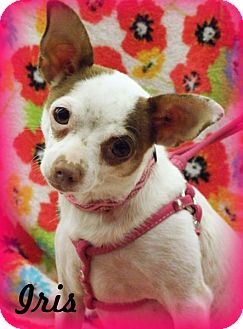 Chihuahua/Jack Russell Terrier Mix Dog for adoption in Anaheim Hills, California - Iris
