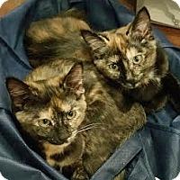 Adopt A Pet :: Pauline (a 'Beatles' kitten bonded w/Georgette) - Alexandria, VA