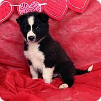 Adopt A Pet :: Demi Border Aussiehoula - St. Louis, MO