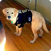 Adopt A Pet :: Chief - West Allis, WI
