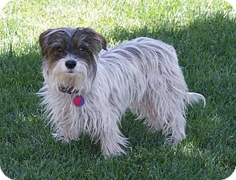 Yorkie, Yorkshire Terrier/Jack Russell Terrier Mix Dog for adoption in Apple Valley, Utah - Harley