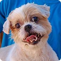 Shih Tzu Mix Dog for adoption in Las Vegas, Nevada - Gizmo