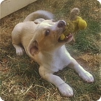 Adopt A Pet :: Lil' Oakley - Kirkland, WA