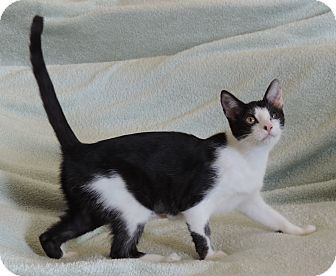 Domestic Shorthair Cat for adoption in Plano, Texas - AURORA - SURVIVOR KITTY