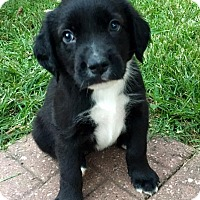 Newfoundland/American Pit Bull Terrier Mix Puppy for adoption in Dayton, Ohio - Nighthawk