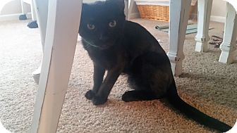 American Shorthair Kitten for adoption in Houston, Texas - Zippo