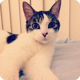 Domestic Shorthair Cat for adoption in Toronto, Ontario - Buttons