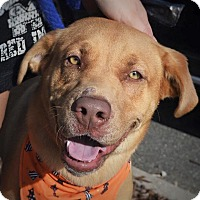Labrador Retriever Mix Dog for adoption in Wilmington, North Carolina - Kallie