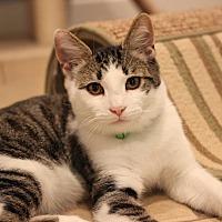 Domestic Shorthair Kitten for adoption in Carlisle, Pennsylvania - Roger