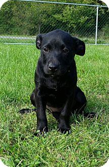 Border Collie/Labrador Retriever Mix Puppy for adoption in Columbia, Maryland - Amarillo