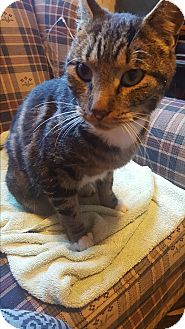 Domestic Shorthair Cat for adoption in Albany, New York - Bob