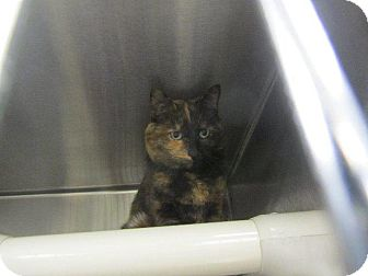 Domestic Shorthair Cat for adoption in Grand Junction, Colorado - Isabelle