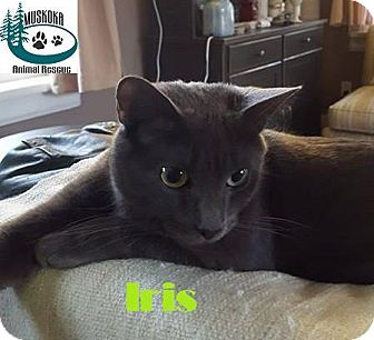 Domestic Shorthair Cat for adoption in Huntsville, Ontario - Iris - Follows you around!