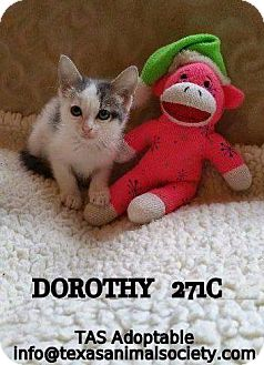 Domestic Shorthair Cat for adoption in Spring, Texas - Dorothy