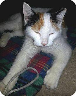 Domestic Mediumhair Kitten for adoption in York, Pennsylvania - Punkin'