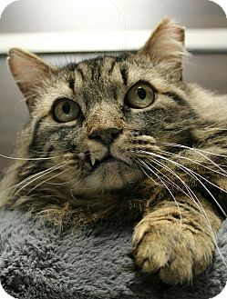 Domestic Mediumhair Cat for adoption in Wayne, New Jersey - Linus